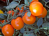 Tomate 'Orangino' - Cocktailtomate