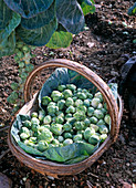 Brassica gemmifera (Brussels sprouts) freshly harvested