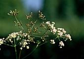 Echter Kümmel (Carum carvi), Blüten und Samenstand