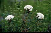 Ledum palustre (Sumpfporst), Blätter und Holz duften stark aromatisch harzig, kampferartig, vertreibt Insekten