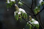 AESCULUS hippocastanum ROßKASTANIE , frischer Austrieb mit Schnee
