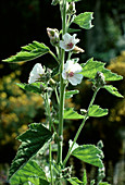 ALTHAEA OFFICINALIS (Echter Eibisch)
