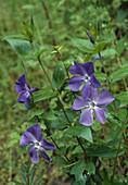 Blüten von Vinca major (Großem Immergrün)