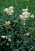 Maedesuess an Flussufer, Filipendula ulmaria, Bayern, Deutschland / flowers, Filipendula ulmaria, Bavaria, Germany