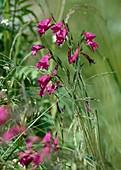 Sumpf-Gladiolen, Gladiolus palustris, Oberbayern, Deutschland / Gladiolus, Gladiolus palustris, Upper Bavaria, Germany