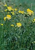 Echter Wundklee, Gemeiner Wundklee, Gewöhnlicher Wundklee oder Tannenklee (Anthyllis vulneraria)