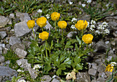 RANUNCULUS montanus Berg - HAHNENFUß