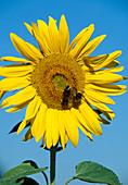 Helianthus annuus (Sonnenblume) mit Hummeln
