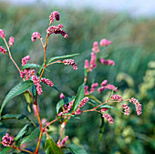 Polygonum lapathifolium syn. Persicaria lapathifolia (Ampfer-Knöterich oder Sachalin-Knöterich