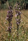 Swertia PERENNIS / Ausdauernder Tarant, Sumpfenzian