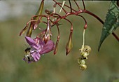 Drüsiges Springkraut, Impatiens glandulifera, Blüte und Samenkapseln, Neophyt, Deutschland , kleine Hummel