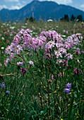 Dianthus superbus (PRACHTNELKE)