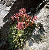 Sempervivum montanum subsp. stiriacum (Berg - Hauswurz)