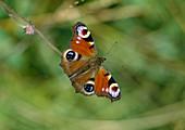 Tagpfauenauge (Aglais io; Syn.: Inachis io, Nymphalis io)