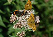 Kaisermantel (Argynnis paphia) und Admiral (Vanessa atalanta) auf Blüte von Eupatorium (Wasserdost)