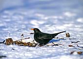 Amsel (Turdus merula) oder Schwarzdrossel, Männchen im Schnee