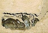 Wildkaninchen (Oryctolagus cuniculus) mit Jungen im Bau