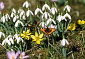 Schmetterling KLEINER Fuchs mit Galanthus (Schneeglöckchen) und Eranthis (Winterlingen)