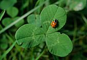 Siebenpunkt-Marienkäfer oder Siebenpunkt (Coccinella septempunctata) auf Kleeblatt