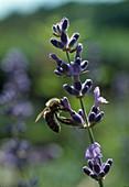 Honigbiene (Apis mellifica) an Lavendel