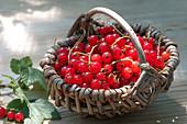 Kleines Körbchen mit Ribes rubrum (roten Johannisbeeren)
