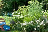 Weisses Beet mit Astilbe (Prachtspiere), Hydrangea arborescens 'Annabelle'