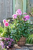 Dahlia 'Lavender Ruffles' (Dekorative Dahlie) D. 'Gute Laune'