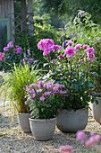 Dahlia 'Lavender Ruffles' (Dekorative Dahlie), Cleome spinosa