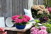 Hydrangea macrophylla 'Bastei' (Hortensie) in emaillierter Kuchenform