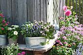 Origanum 'Compactum' (Oregano), Lavandula (Lavendel) und Salvia
