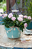 Rosa (Rose) und Lavandula (Lavendel) im türkisen Übertopf