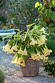 Brugmansia aurea (Engelstrompete) im Korb auf Kiesterrasse