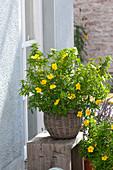 Damiana ulmifolia syn. Turnera ulmifolia ist eine alte Heilpflanze