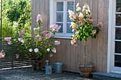 Hydrangea paniculata 'Vanille Fraise' und 'Pinky Winky'