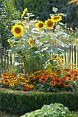 Sonnenblumen und Sonnenhut in Rundbeet mit Buchs-Hecke