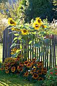 Helianthus annuus (Sonnenblumen) und Rudbeckia hirta 'Autumn Colors'
