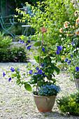 Thunbergia battiscombei (Grossbluetige Himmelsblume)