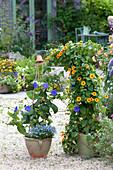 Thunbergia battiscombei (Grossbluetige Himmelsblume) unterpflanzt