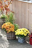 Chrysanthemum indicum (Herbstchrysanthemen), Panicum virgatum