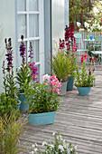 Lobelia speciosa Kompliment 'Scarlet' 'Purple' (Prachtlobelien,