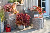 Spaetsommerterrasse mit Begonia Summerwings 'Apricot', 'Dragonwings'