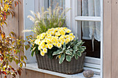 Chrysanthemum indicum (Herbstchrysantheme), Pennisetum