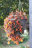 Begonia Summerwings 'Ebony & Coral' (Begonie) Ampel