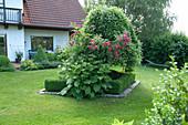 Rosa (Rosen), Inula magnifica (Hoher Alant) und Salix caprea 'Pendula'