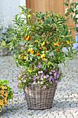 Fortunella japonica (Kumquat) und Brachyscome 'Brasco Violet'