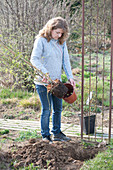 Kletterrose an Rosenbogen pflanzen