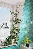 Pflanze rankt am Fenster entlang, daneben Ableger der Kletterpflanze