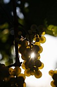 White wine grapes on the vine in Deidesheim, Rhineland-Palatinate, Germany
