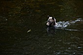 A grizzly bear catching a salmon in Glendale Cove, Canada