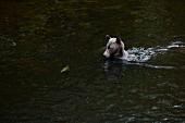 Grizzlybär beim Lachs fangen, Glendale Cove, Kanada
